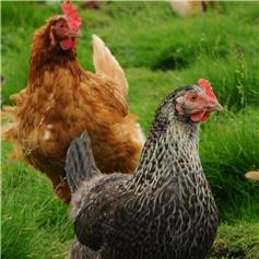 The Basics of looking after chickens - Adults