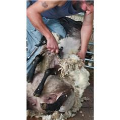 Sheep Shearing - Child